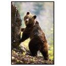 Brown bear - Animals poster