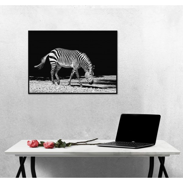 Zebra with Black Background - Black and White Poster